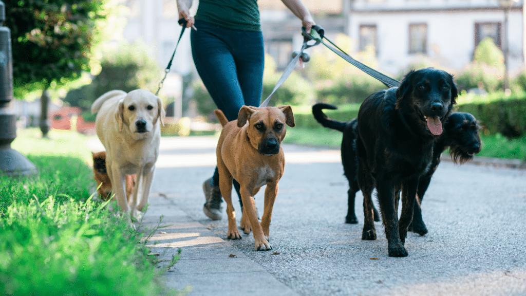 woman walking five dogs